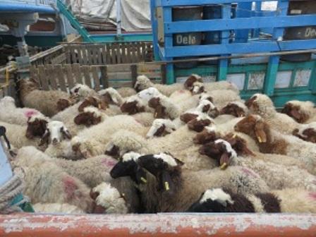هزار راس دام سبک از تایباد به کشور عمان صادر شد