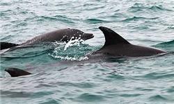 لاشه کشف شده دلفینها فاسد شده بود / امکان کشف علت مرگ میسر نیست