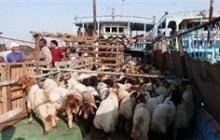 صادرات بیش از ۹۳ هزار رأس دام زنده از خوزستان