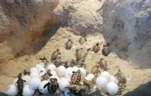 آغاز زود هنگام فصل جدید تخمگذاری لاک پشت های دریایی در جزیره کیش