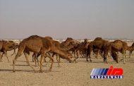 گمرک اعلام کرد؛ واردات شتر به کشور با مجوز بازارچههای مرزی است