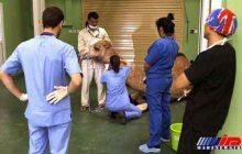 ایجاد اولین بیمارستان شتر جهان در دبی