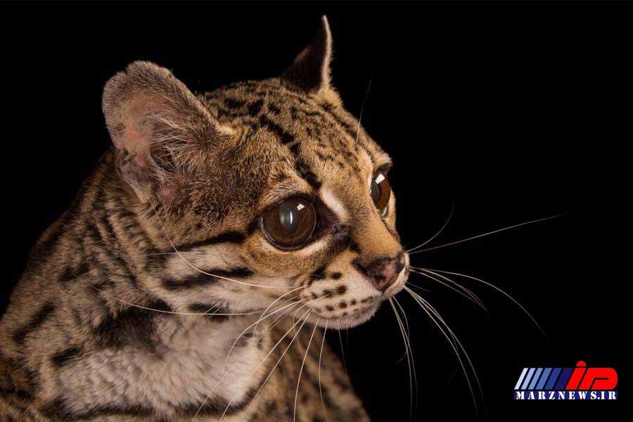 بازگشت دو قلاده گربه وحشی به دامان طبیعت