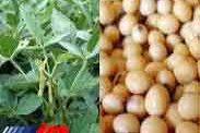 تولید 28 تن سویا در بابل