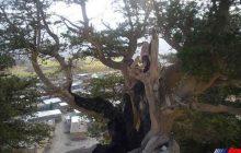 درختان ۳هزار ساله «بان سرو» فرصت گردشگری ایلام