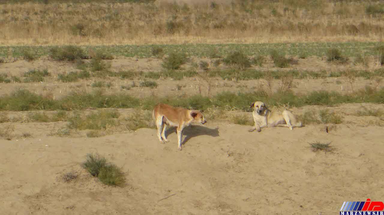 ستاد اتلاف سگهای ولگرد در درگز فعال است
