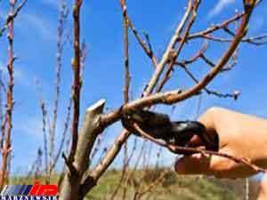 هرس بیش از1000هکتار از باغات سیب آمل