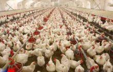 پلمب یک واحد مرغداری ۱۴ هزار قطعه ای در هرسین