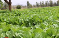 پیش بینی تولید 23هزار تن کاهو در آمل