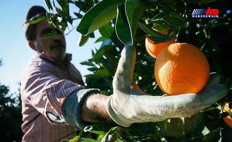 برداشت محصول مرکبات از 11 هزار هکتار باغهای گیلان