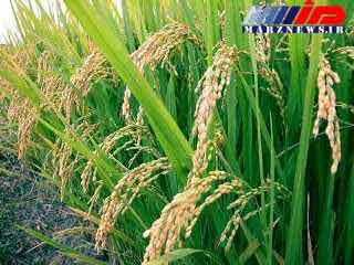 شالیکاران گیلان از به کارگیری بذرهای ناخالص خودداری کنند