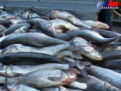 کشف 4800 کیلوگرم ماهی قاچاق در گلستان