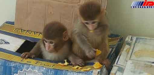 رهایی 8 میمون از چنگال دلالان در سردشت