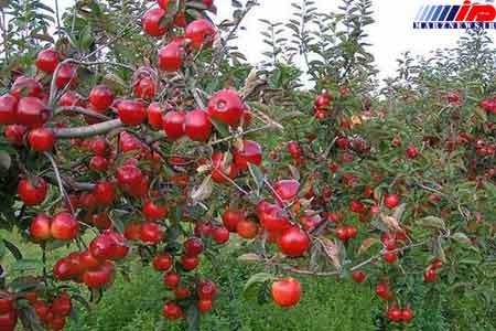 صادرات 22 هزار تن کنسانتره سیب از گمرکات آذربایجان غربی