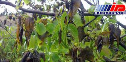 خسارت ۴۷ میلیارد تومانی سرما به باغات در خراسان رضوی