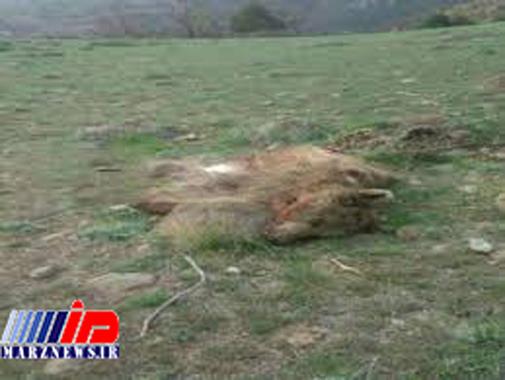 پنهانکاری خبر شکار یک خرس در سنگرود گیلان!