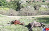 کشتار اسبهای کولبر ادامه دارد!