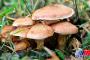 مصرف قارچ سمی8 کشته و449 مسموم برجاگذاشت