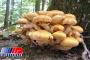 قارچهای سمی همچنان قربانی میگیرند