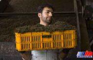 چای ایران؛ محصولی طبیعی با شهرت جهانی