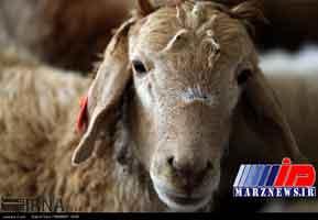 تداوم ممنوعیت صادرات دام زنده برای تنظیم بازار گوشت قرمز