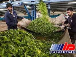 تغییر ذائقه مردم با واردات گسترده چای