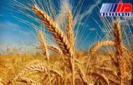 شوش همچنان رکورد دار تولید گندم در کشور است