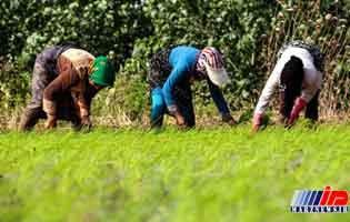 جهت گیری ارگانیک کشاورزی مازندران با کاهش مصرف کود شیمیایی