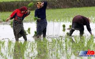 کشت برنج در خراسان شمالی ممنوع شد