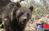 خرس قهوه ای جوان مشگین شهری را مجروح کرد