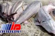 صید ماهی خاویار در خزر به صفر رسیده است