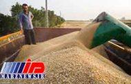 واردات گندم صادراتی با وجود ممنوعیت