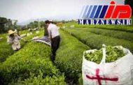 سقوط آزاد تولید چای در شمال