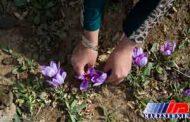 سیاستهای ارزی،صادرات رسمی زعفران را ۴۵درصد کاهش داد/افزایش قاچاق