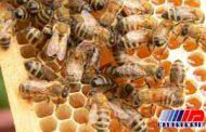ملکه های قاچاق خارجی ، بلای جان نژاد زنبور ایرانی