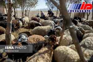 کاهش واردات دام زنده به سیستان و بلوچستان
