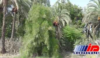 درختى که در ایران نفت تولید مى کند+ تصاویر