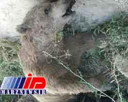 جسد خرس قهوه ای در خراسان شمالی کشف شد