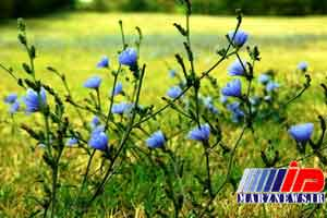 ظرفیت گیاهان دارویی در بیله سوار مغفول مانده است