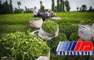 ممنوعیت صادرات چای لغو شد