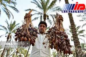 ضرورت پرورش خرماهای صادرات محور در خوزستان