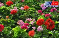 نخستین محموله صادراتی گل ایران آماده ارسال به هلند است