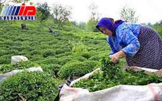 خرید حمایتی برنج نباید به کشاورز آسیب بزند/ابلاغ دستور لغو ممنوعیت صادرات چای داخلی