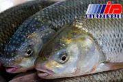 پیشبینی صادرات 120 میلیارد ریالی ماهی به کشور عمان