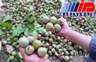 سردشت رتبه اول تولید گردو در آذربایجان غربی