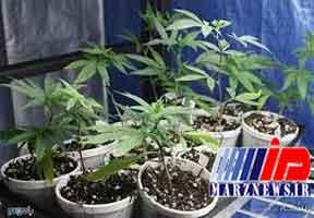 کاشت «ماریجوآنا» در پشتبام منزل