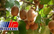 صادرات کیوی از ۱۵ مهرماه از سرگرفته میشود