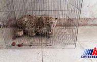 شکارچی پلنگ در خوزستان به دام افتاد