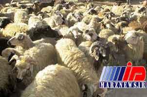 2 میلیارد ریال گوسفند قاچاق در یزد کشف شد