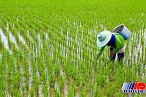 ممنوعیت های کشت برنج خارج از استانهای گیلان و مازندران